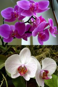 сколько поливать орхидею